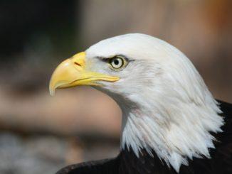bald eagle 140793 1920