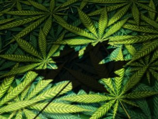 cannada maple leaf cannabis leaves