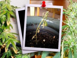 Le Cannabiste Herbe Ratée