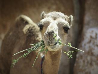 camel 3894778 1920 1