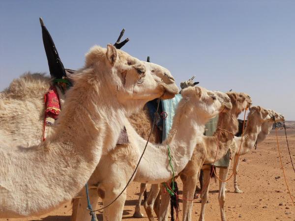 le chameau est plus calme que le dromadaire 198 4 600