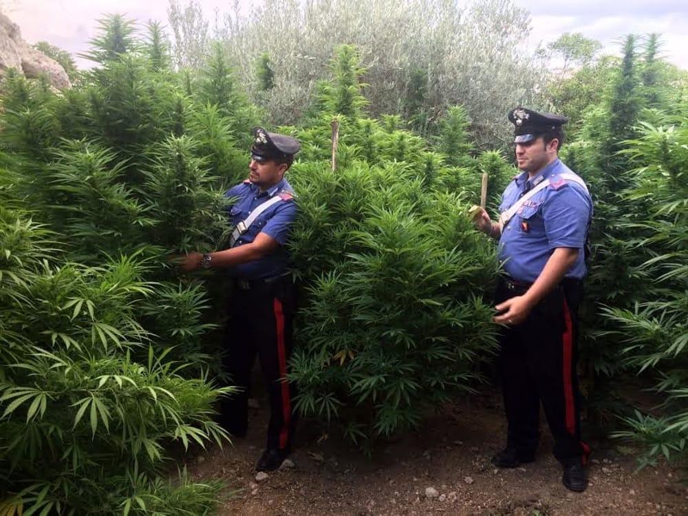 marijuana favara 2