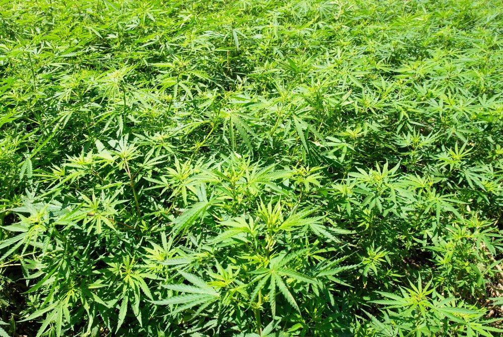 marijuana field1