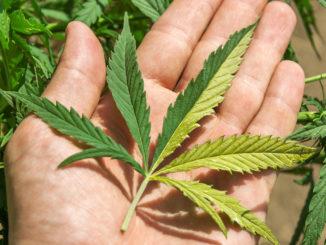 Top 10 Craziest Cannabis Mutations Variegation 3 1024x787