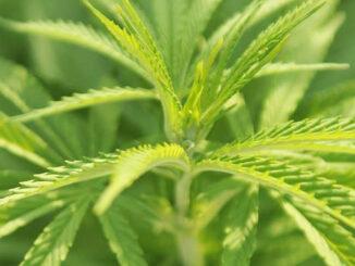 Le Cannabiste Cannabimovone