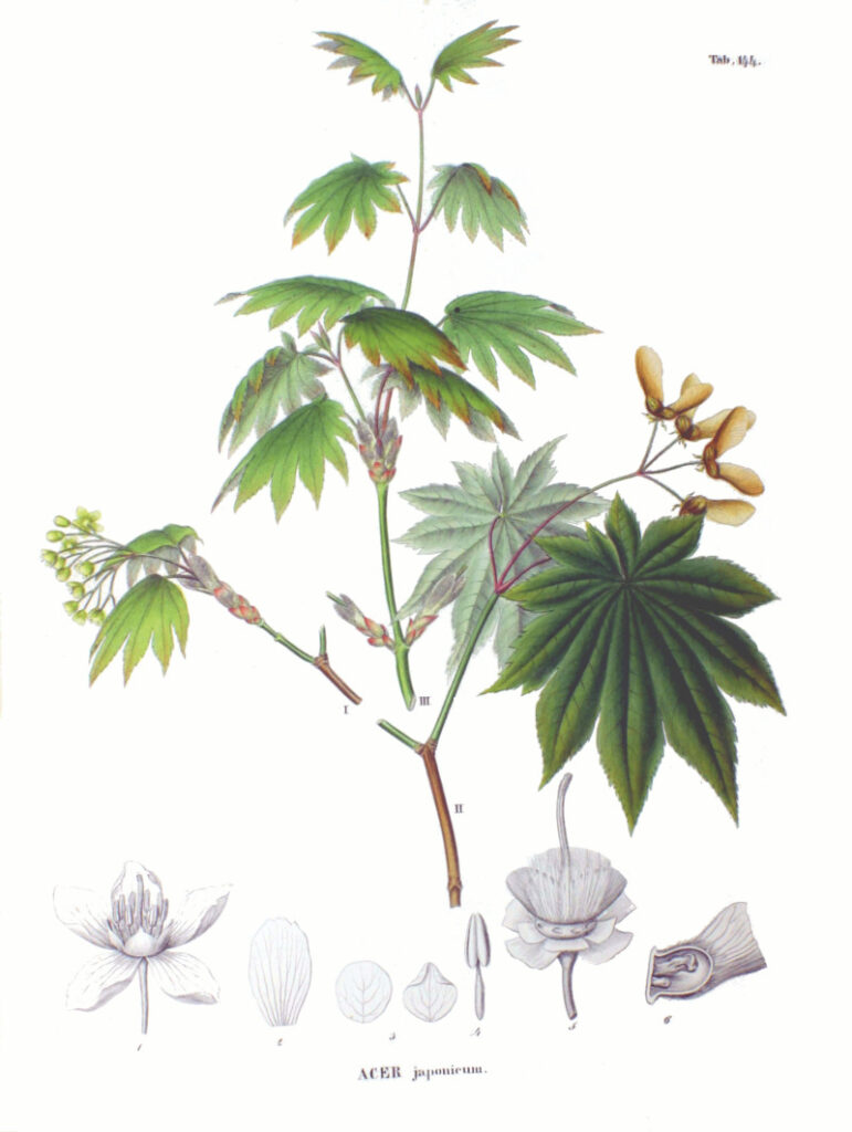 erable-du-japon-wikimedia