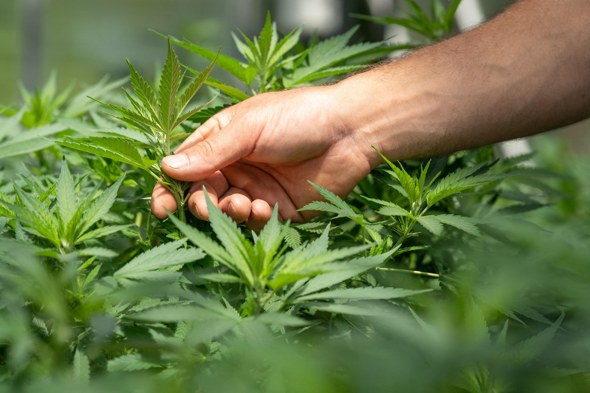 plantes-image-crystalweed-cannabis-unsplash