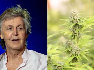 lecannabiste mccartney cannabis